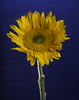 Sunflower On Blue (Bill Gracey 17 Million Views) Tags: sunflower fleur flower flowers flores blue bluebackground gel backlit backlighting color colorful yongnuo yongnuorf603n nature naturalbeauty homestudio tabletopphotography macrolens lakeside