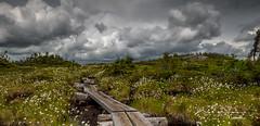 Cotton Sedges and Bog Bridges (trkosha) Tags: white mountains success mountain storm sky skies stormy cotton sedge bog bridges hiking trail nh