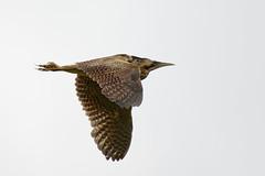 Bittern Upton NWT 4 (JohnMannPhoto) Tags: bittern upton nwt norfolk bird