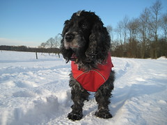Happy Holiday's ! from Confidential ! (excellentzebu1050) Tags: spaniel cocker cockerspaniel animails topseven