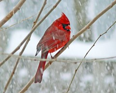 Northern Cardinal (Cardinalis cardinalis) by Larry Meade