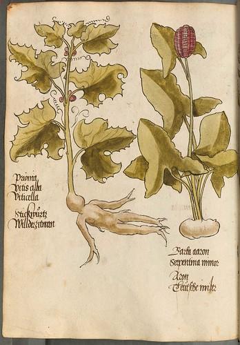 Arzneipflanzenbuch, 1525 l