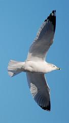 9/365 (Billtacular) Tags: winter bird nature outdoors newjersey wildlife birding nj birdwatching ringbilledgull northbrunswick thewonderfulworldofbirds