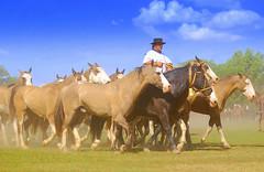 """La lujosa"" (Eduardo Amorim) Tags: horses horse southamerica argentina criollo caballo cheval caballos cavalos pferde herd cavalli cavallo cavalo gauchos pferd pampa hest hevonen chevaux gaucho  amricadosul hst gacho  campero amriquedusud provinciadebuenosaires  gachos  sudamrica sanantoniodeareco suramrica amricadelsur  areco sdamerika gregge crioulo troupeau caballoscriollos herde criollos  tropillas  pampaargentina camperos americadelsud tropilhas tropilla  crioulos cavalocrioulo americameridionale tropilha caballocriollo campeiros campeiro eduardoamorim cavaloscrioulos iayayam yamaiay pampaargentino"