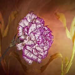 carnation_6466 (mondays child) Tags: orange flower macro texture closeup photoshop purple overlay layer carnation ricoh compact gx200 casmera