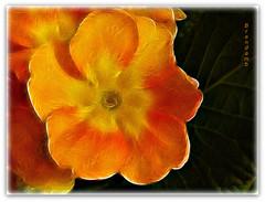 ~ Primula with fractalius ~ (Brenda Boisvert) Tags: orange flower macro yellow spring bloom primula bej anawesomeshot citrit fractalius qualitypixels kunstplatzlinternational brendamb mamasbloomers