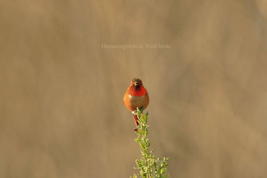 Allen's Hummingbird 01101-108-1