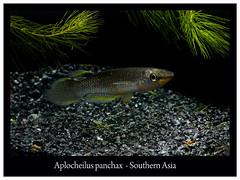 Aplocheilus panchax (Bruno Cortada) Tags: malawi marino mbunas cclidos sudafricanos tanganyica