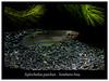 Aplocheilus panchax (Bruno Cortada) Tags: malawi marino mbunas cíclidos sudafricanos tanganyica