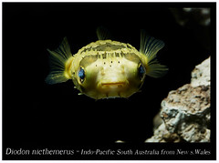 Diodon nicthemerus_800_1 (Bruno Cortada) Tags: malawi marino mbunas cclidos sudafricanos tanganyica