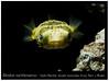 Diodon nicthemerus_800_1 (Bruno Cortada) Tags: malawi marino mbunas cíclidos sudafricanos tanganyica
