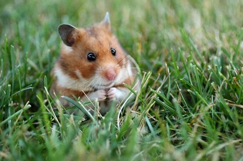 フリー画像| 動物写真| 哺乳類| 小動物| ネズミ上科| ハムスター|      フリー素材|