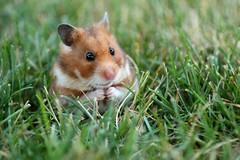 [フリー画像] [動物写真] [哺乳類] [小動物] [ネズミ上科] [ハムスター]      [フリー素材]