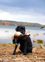 DPP_1565resized (Mike Bons) Tags: black bay duck lab labrador hunting blacklab mallard drake hdr