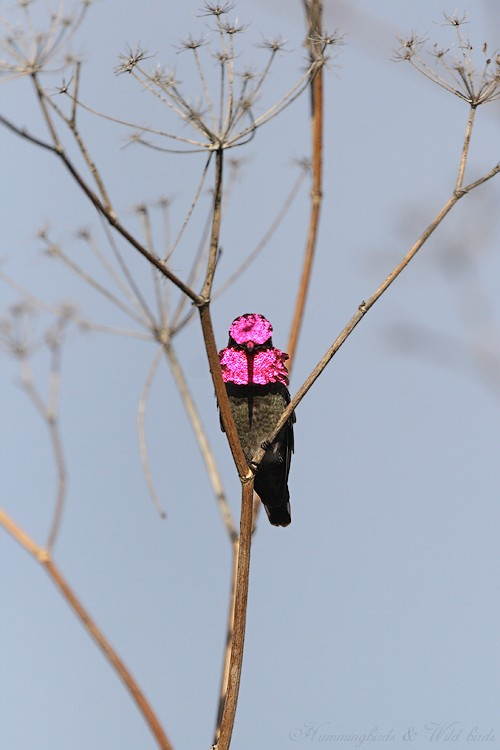 Anna's Hummingbird 01101-103