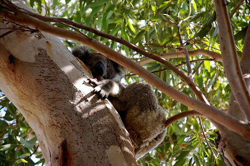 koala at Merricks Beach