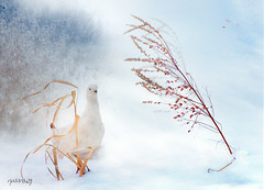 Before the storm (natans) Tags: winter sea snow storm finland wind grouse blowing oulu yellowloosestrife willowgrouse awardtree creattività miasbest