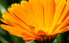 The sights and sounds of it... (negra223) Tags: summer orange sun cold flower macro nature colors beauty gardens closeup insect missing details warmth bee aster chicagobotanicalgardens potmarigold negra223 boycottingwinter thesightsandsoundsofit tomanyclothes hadenoughofwinter
