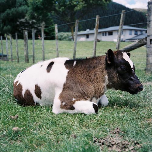 calf #2