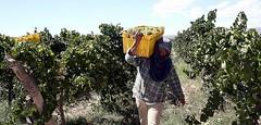 Producción de uvas: Aumentaría un 8% la cosecha 2010