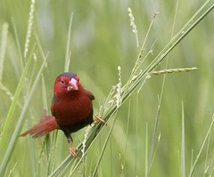 Crimson Finch at Fogg Dam 5 (jonclark2000) Tags: bird nt australia finch northernterritory foggdam crimsonfinch