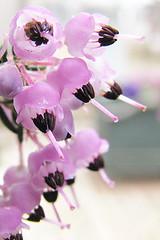 Erica melanthera (ashitaka-f) Tags: flower japan wallpapers iphone