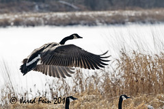 Canada Goose 3 (SewerDoc (4 million views)) Tags: bird nature birds animals flying geese wings pond wing feathers feather waterfowl canadagoose canadageese avian wetland flickrdiamond sewerdoc thewonderfulworldofbirds ©jaredfein