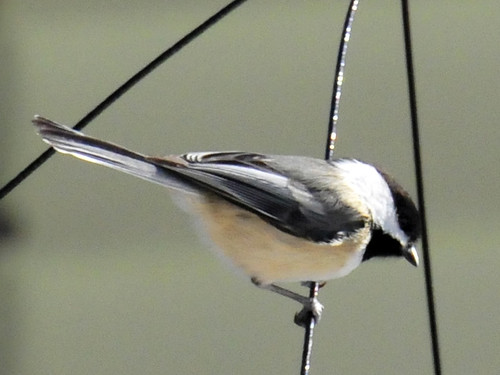 chickadee close up 3