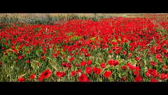 Campo de amapolas de Arganda del Rey (Gorrioni) Tags: flowers red flores field countryside rojo poppy amapolas greenandred campodeamapolas