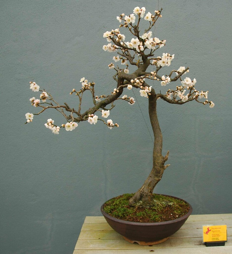OakBonsai Prunus Mume Flowering Apricot
