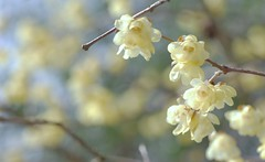 Chimonanthus (wintersweet) (snowshoe hare) Tags: chimonanthus wintersweet