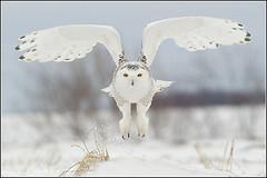 Owl (Snowy) - 1815 (Earl Reinink) Tags: flight raptor snowyowl snowyowlinflight earlreinink wwwearlreininkcom wwwipaintca