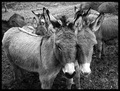 Bestiario alpino, gli animali protagonisti della montagna (emilius da atlantide) Tags: horses alps animals suisse donkeys natura piemonte svizzera alpi sheeps cavalli piedmont animali ch bestie pecore asini bestiario ossola equini emilius alpilepontine bestiarioalpino httpwwwflickrcompeople47021817n02