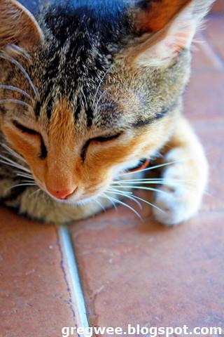 common cat allergies