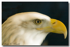 Bald Eagle (Ethan G. Knuti) Tags: minnesota baldeagle mn wabasha nationaleaglecenter ethangknuti