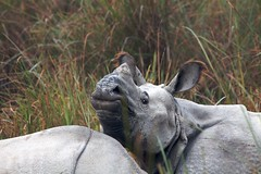 Rhinos, Dudhwa (rohitster) Tags: india forests terai