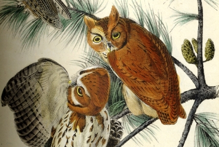 Two birds from Little Screech Owl by John James Audubon. Birds of America (Octavo Ed. 1870).  California Academy of Sciences Library, Rare Books QL674 .A9 1870