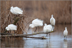 Group of Little Egrets (Egretta garzetta) (Alessandro Laporta Photographer) Tags: stormo egrettagarzetta littleegrets garzette cacciafotografica alessandrolaporta fotocesco gruppodigarzette