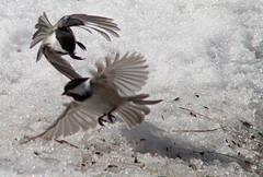 March 6, 2010 (auburnxc) Tags: winter snow birds mendon birding rochester chase february blackcappedchickadee scavengerhunt 2010 keeper birdinflight mendonponds canont1i auburnphotographyclub march62010