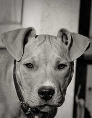 Charley #4 (chrisvinten) Tags: dogs puppy funny terrier staffodshire staffodshirebullterrier