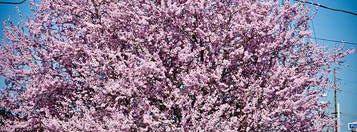 Cherry Tree Pink
