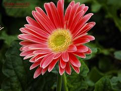Single Gerbera Daisy (onthemarkphotos) Tags: flower macro nature closeup mark gerbera daisy michel longwoodgardens markmichel canon2s1s