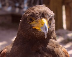 Natural Beauty (PelicanPete) Tags: renaissancefestival browneyes naturalbeauty birdofprey harrisshawk bigbeak largebird hookedbeak falconrybird deerfieldbeachflorida march7th2010
