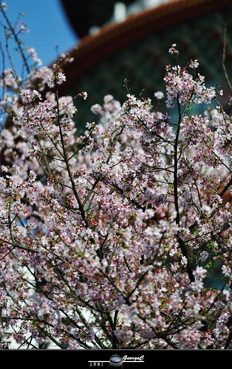 Sakura sunny 06