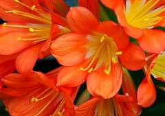 Clivia (Shotaku) Tags: flowers orange flower macro yellow explore greenhouse bicolor clivia centers vintagehill
