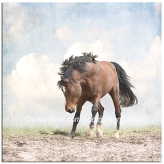 Spooking Horse (pongo 2007) Tags: horse caballo cheval europe cavallo cavalo pferd augustus equus paard ceffyl shagya yearofthehorse ghostworks shagyaarabian texturebyskeletalmess pongo2007