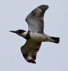 Belted Kingfisher (orencobirder) Tags: flight kingfisher flickrexport largebirds