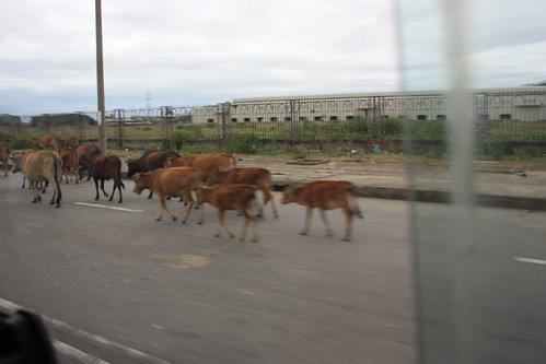 Cows on the main road near the tunnel just outside Danang