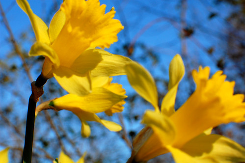 Daffodils 07