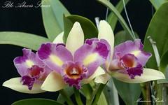 Blc Alexis Sauer (Maurício Pinto) Tags: orchid flower color macro fleur colors cores flor orquidea fiori orchidee cor orquídea coleur